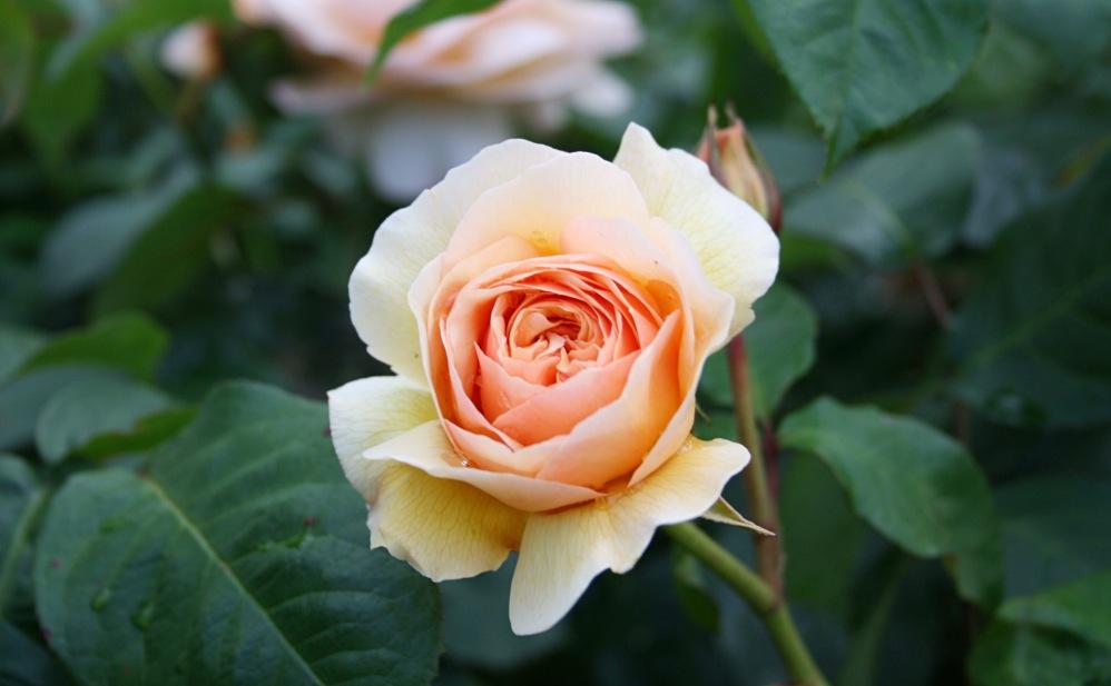 Parc rose_Fotor