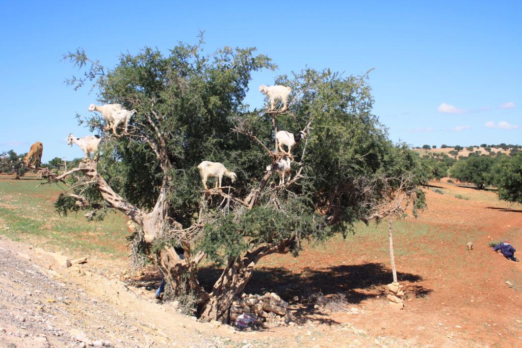 Essaouira chevres