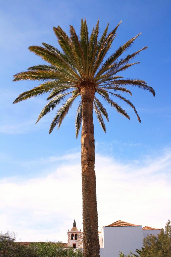 Betancuria palmier