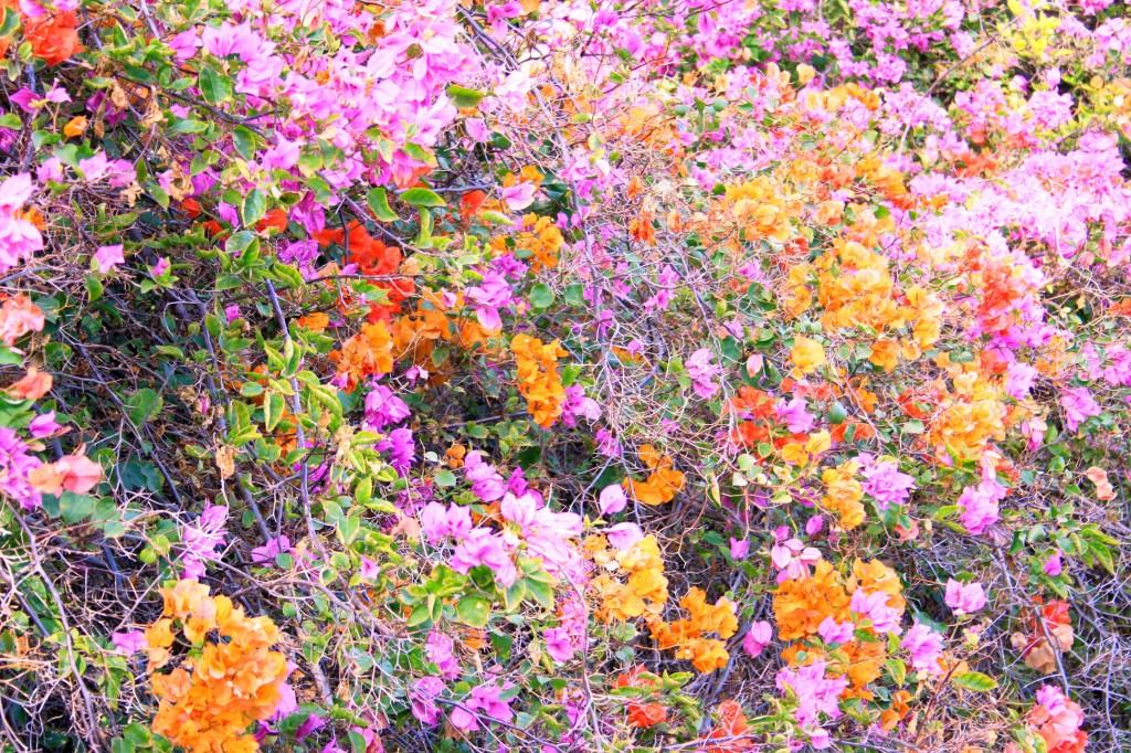 Fleurs Betancuria