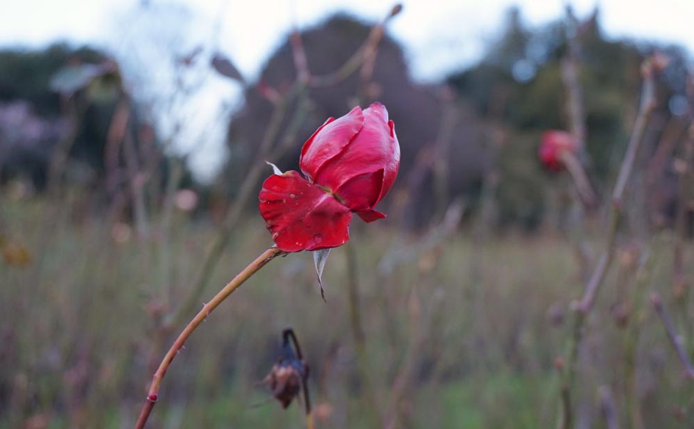 Rose hiver