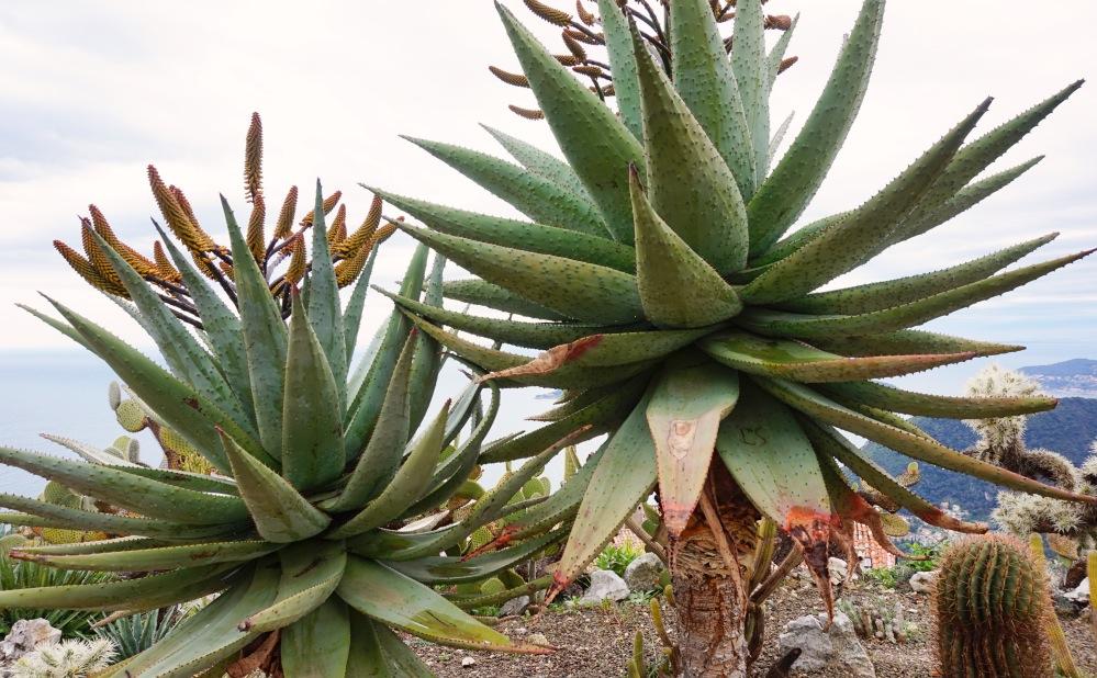 Aloe Vera geante