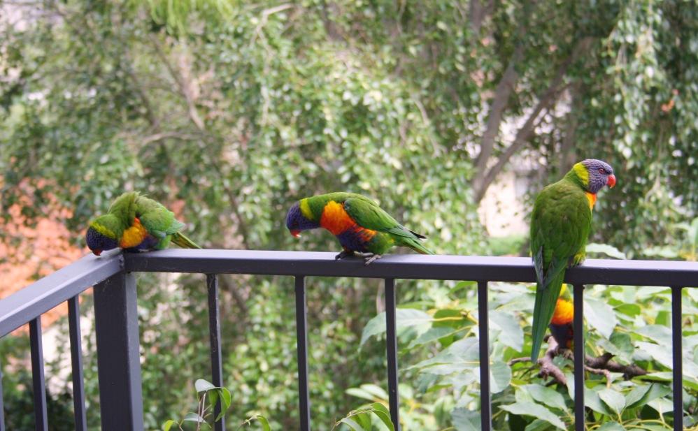 2 semaines à Sydney_Birds