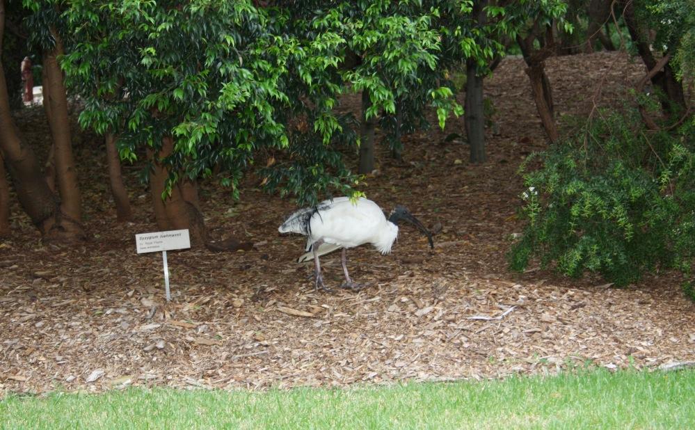 2 semaines à Sydney_Botanical Garden 2