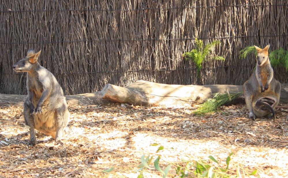 2 semaines à Sydney_Taronga Zoo 8