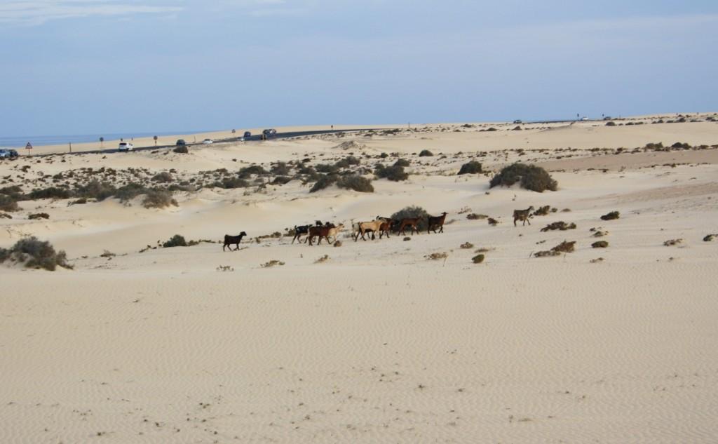 Noel-au-soleil-Fuerteventura-Dunes Chevres