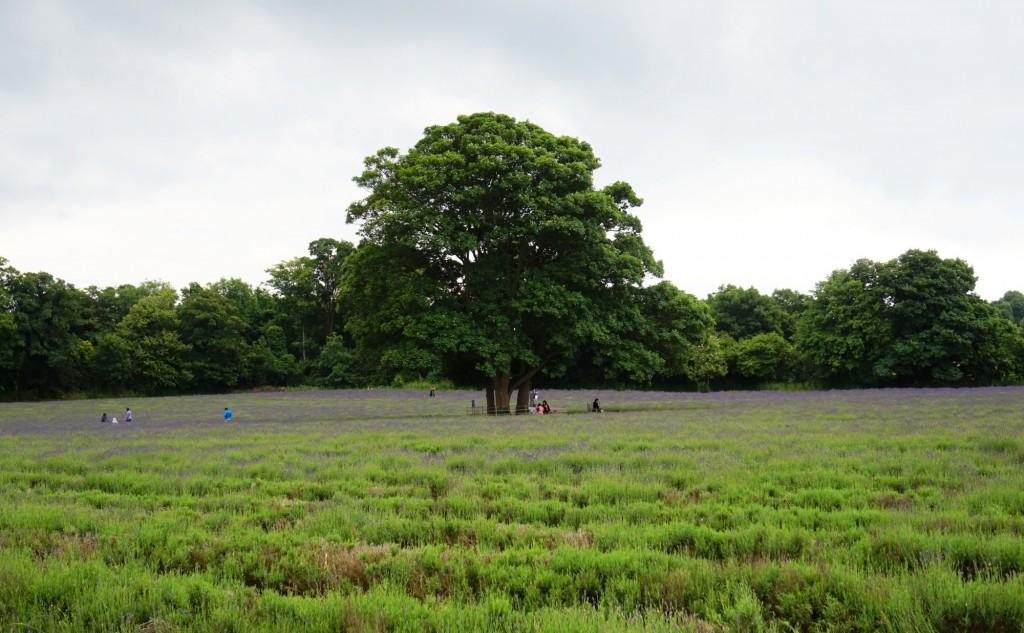 Mayfield-lavender-field-1