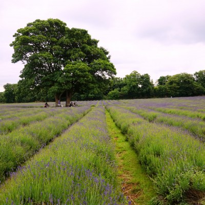 Mayfield-lavender-fields-3