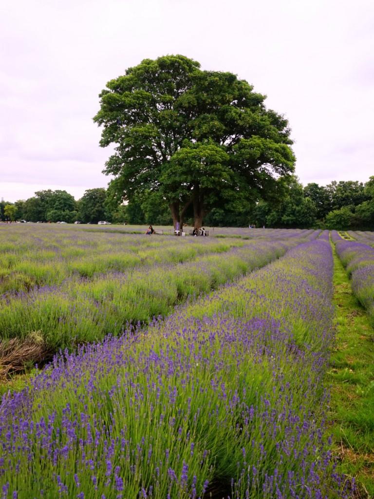 Mayfield-lavender-fields-4
